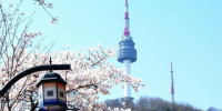 Korea N Seoul Tower Cherry Blossom 800×400
