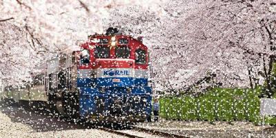 Korea Jinhae Cherry Blossom Festival 800x400