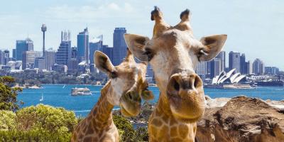 Australia Sydney Taronga Zoo Giraffe wefie 800x400