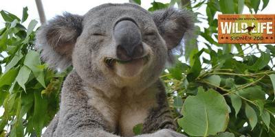 Australia Wild Life Sydney Zoo Smiling Koala 800x400