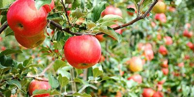 Japan Nagano Iiyama Apple Picking 800x400
