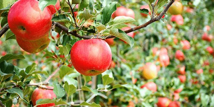 Japan Nagano Iiyama Apple Picking 800×400