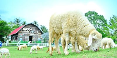 Thailand Pattaya Sheep Farm Sheep House 800x400