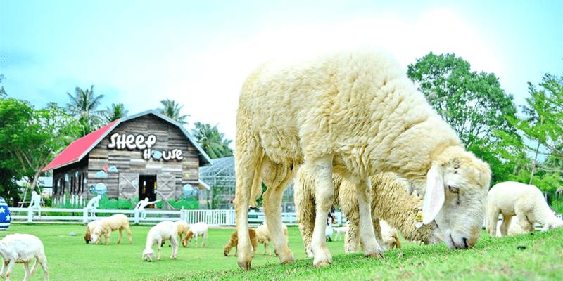 Thailand Pattaya Sheep Farm Sheep House 800x400 Triba East