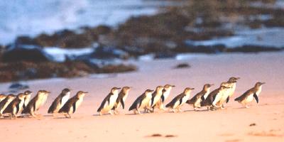 Australia Melbourne Philip Island Penguin Parade 800x400