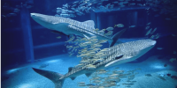 Japan Osaka Aquarium Kaiyukan Pacific Ocean Whale Sharks 800×400