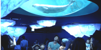 Japan Osaka Aquarium Kaiyukan Ringed Seal 800×400