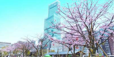 Japan Osaka Harukas 300 Obervatory Cherry Blossom 800x400