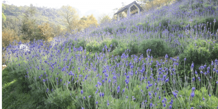 Taiwan Lavender Cottage 800×400
